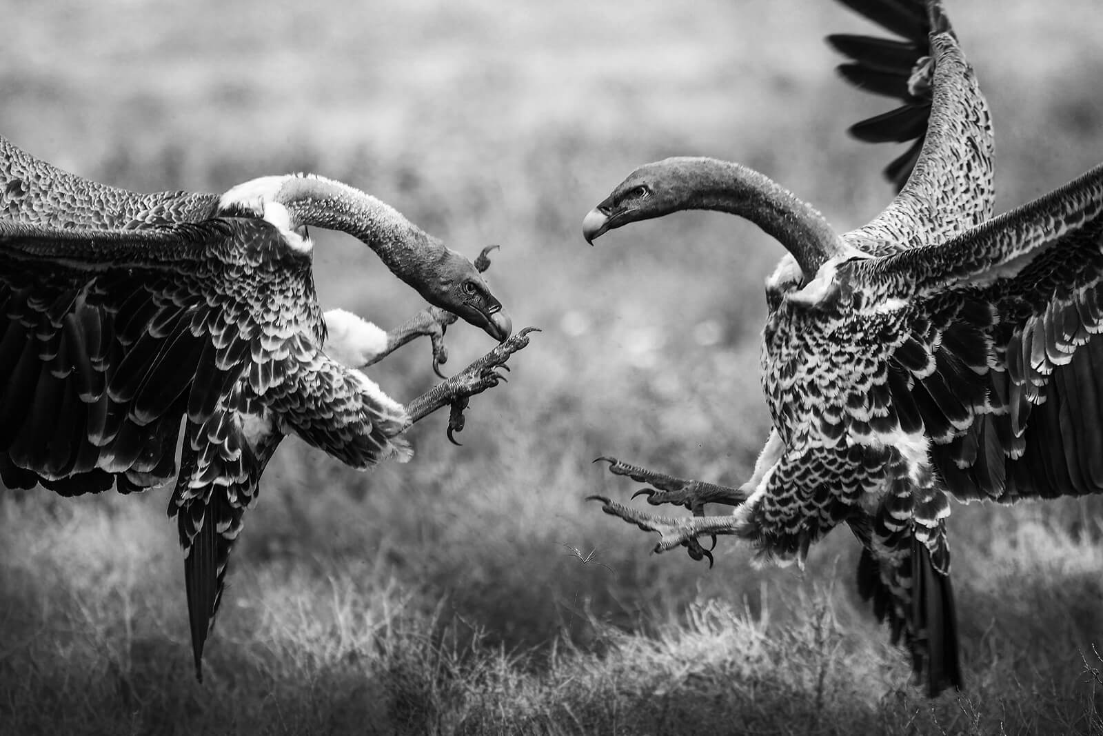 the-fight-serengeti-bjorn-persson