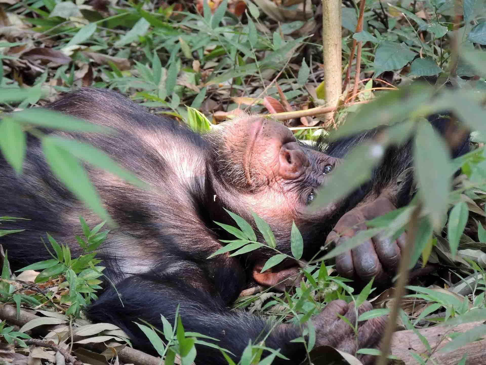chimpanzee-718273_1920