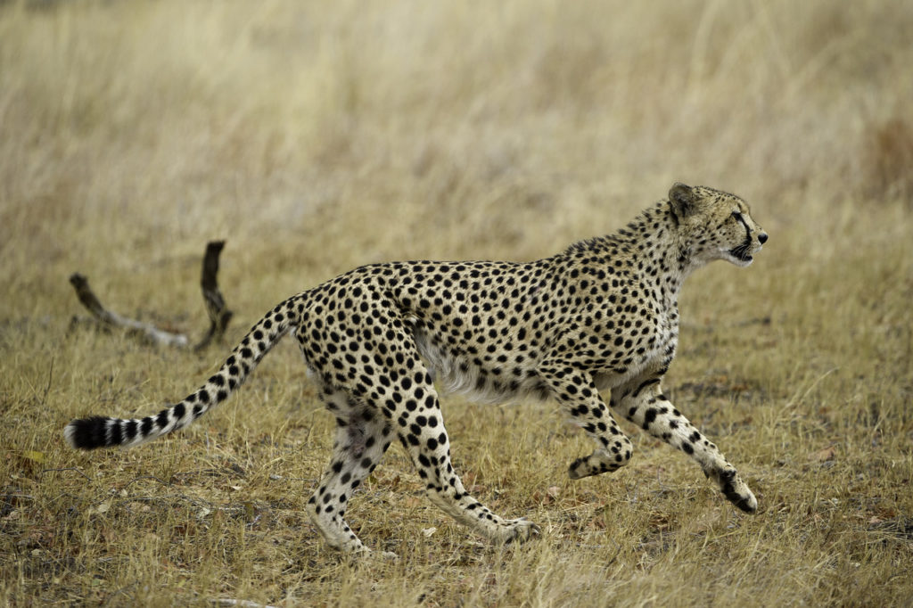 The Tanzanian Cheetah