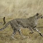 The Tanzanian Cheetah