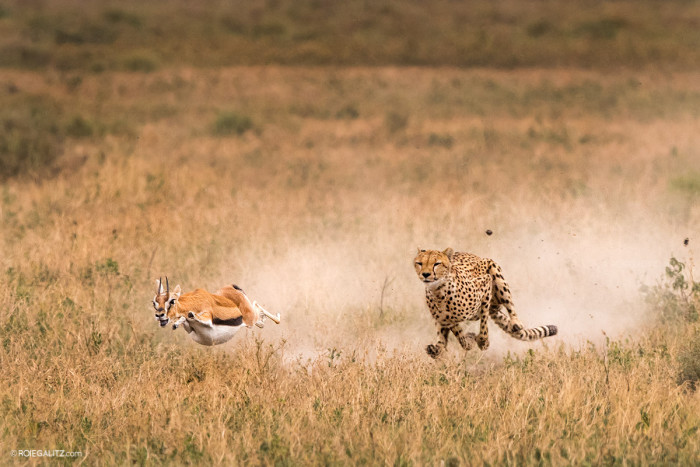5 facts about the Tanzanian Cheetah (East African Cheetah)