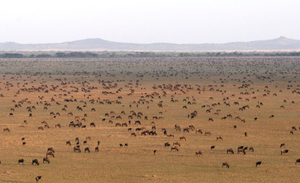 Wildebeest Migration Serengeti