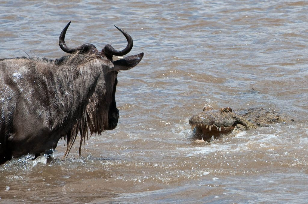 Wildebeest faces up a Crocodile