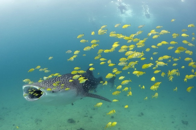 Tanzania, Mafia Island, whale sharks, whale shark diving, beach holidays, luxury beach accommodation