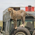 Cheetah Jumps on Safari Vehicle