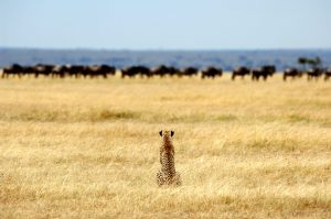 Cheetah stalking Wildebeest
