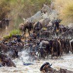 Lions vs Buffalo: Usurping of a King?