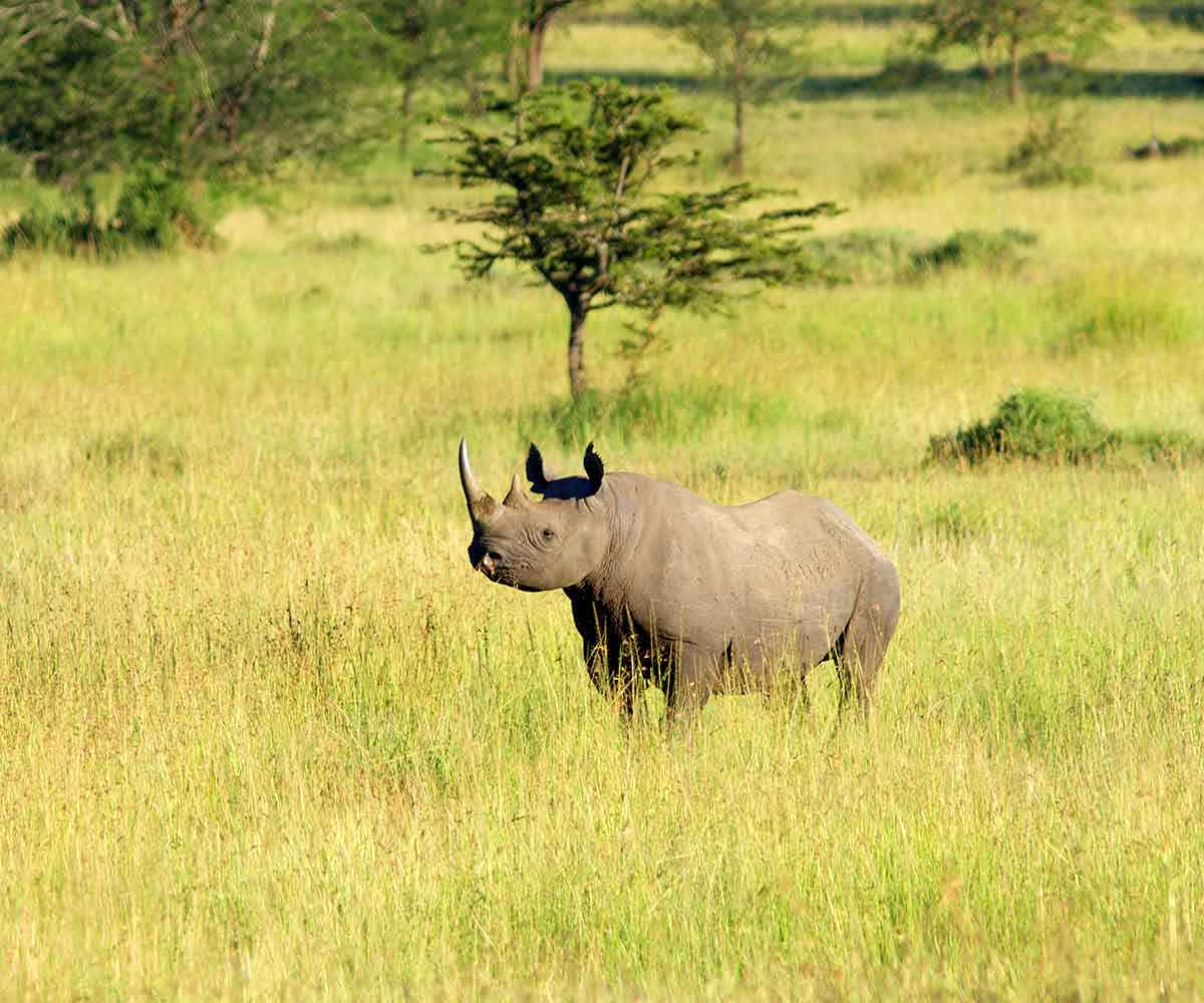 Black rhino out in the open