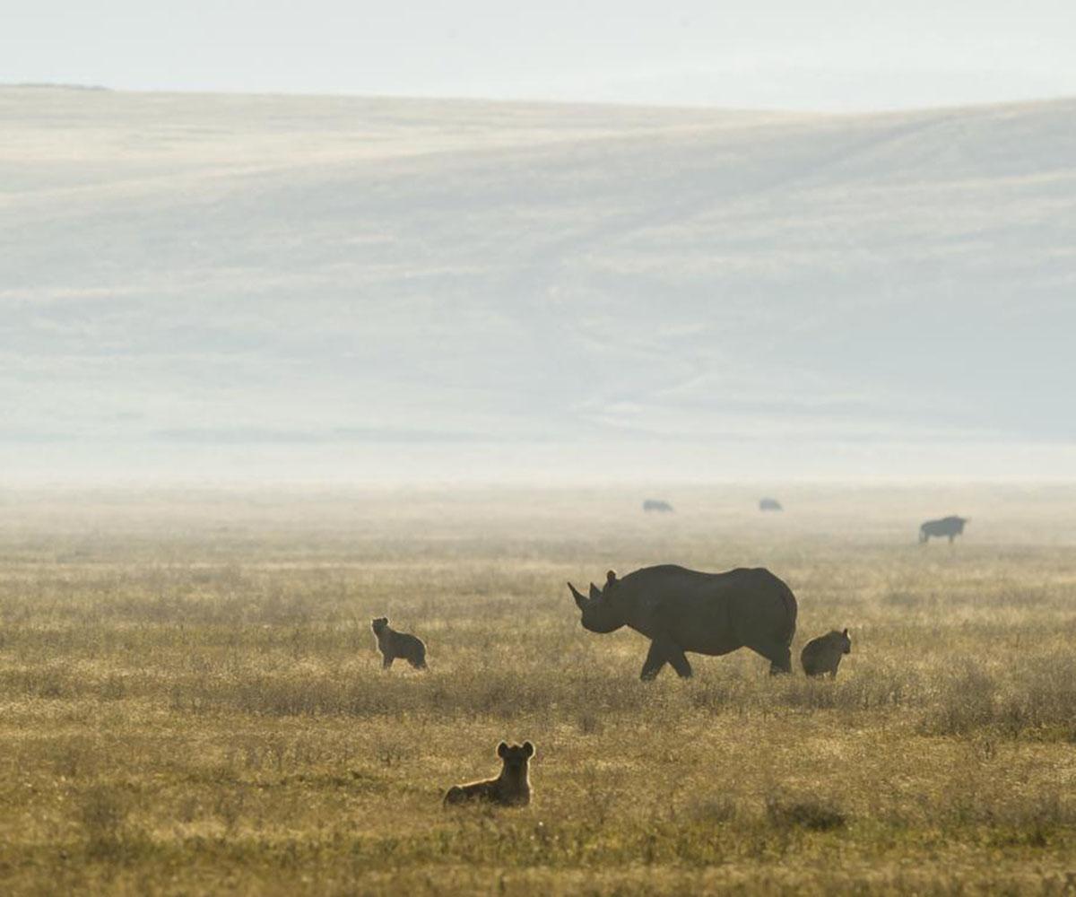 Black rhino in the Ngorongoro Crater
