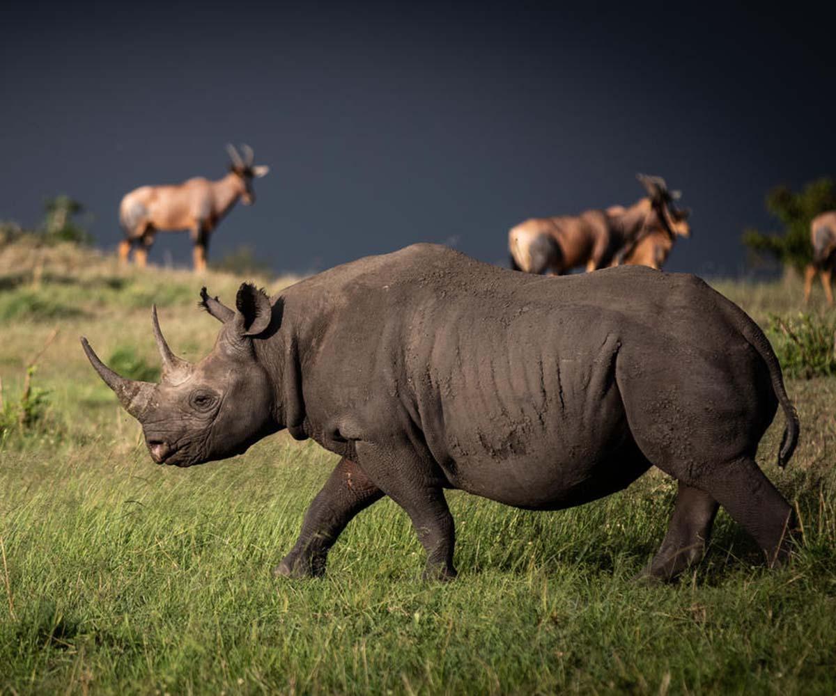 Blakc rhino on open plains