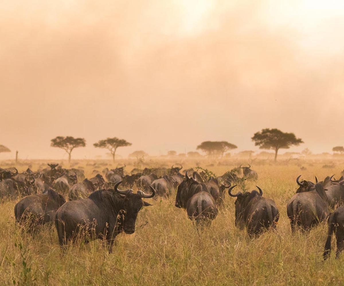 Wildebeest migration during sunset