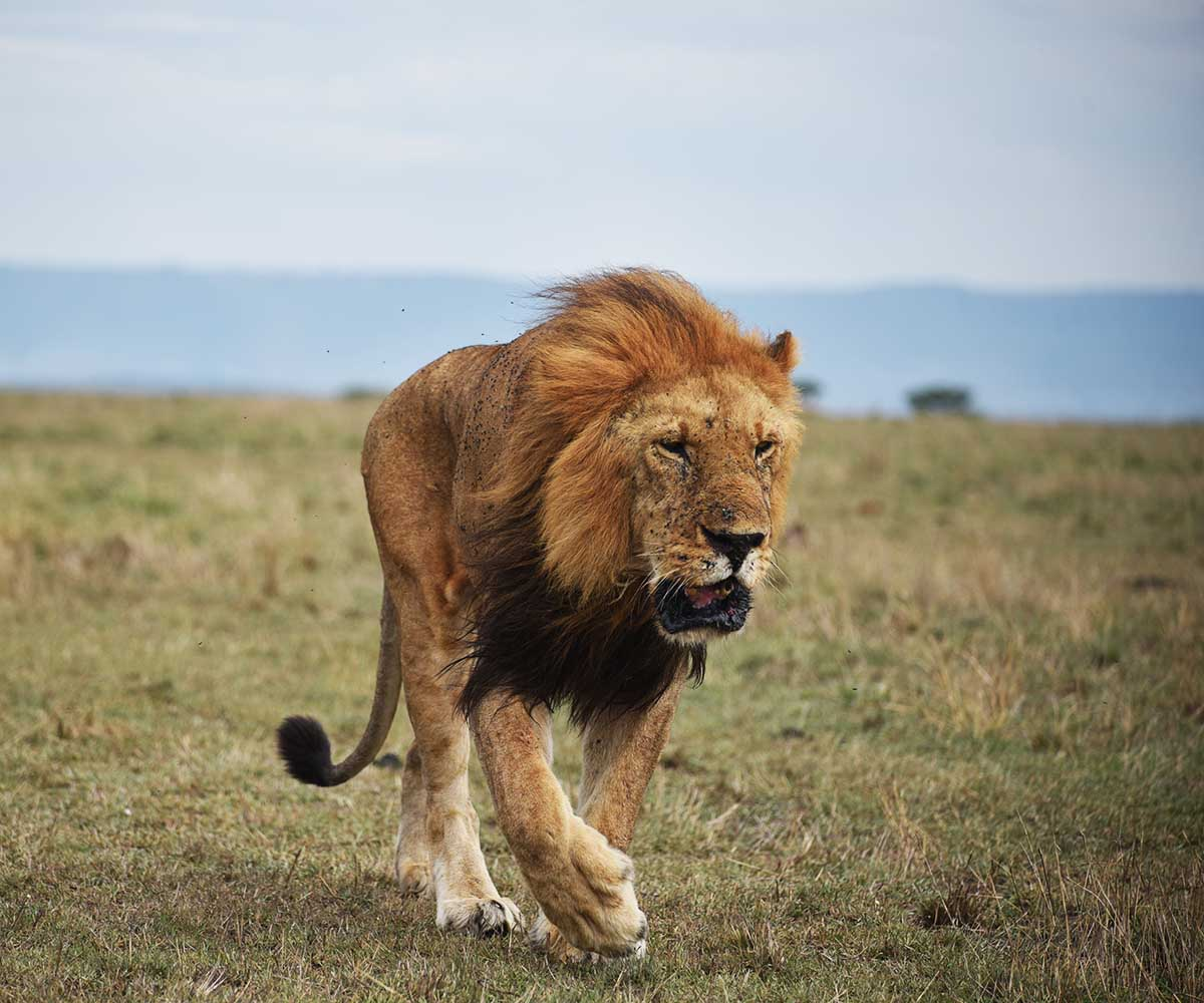 Lion walking serengeti