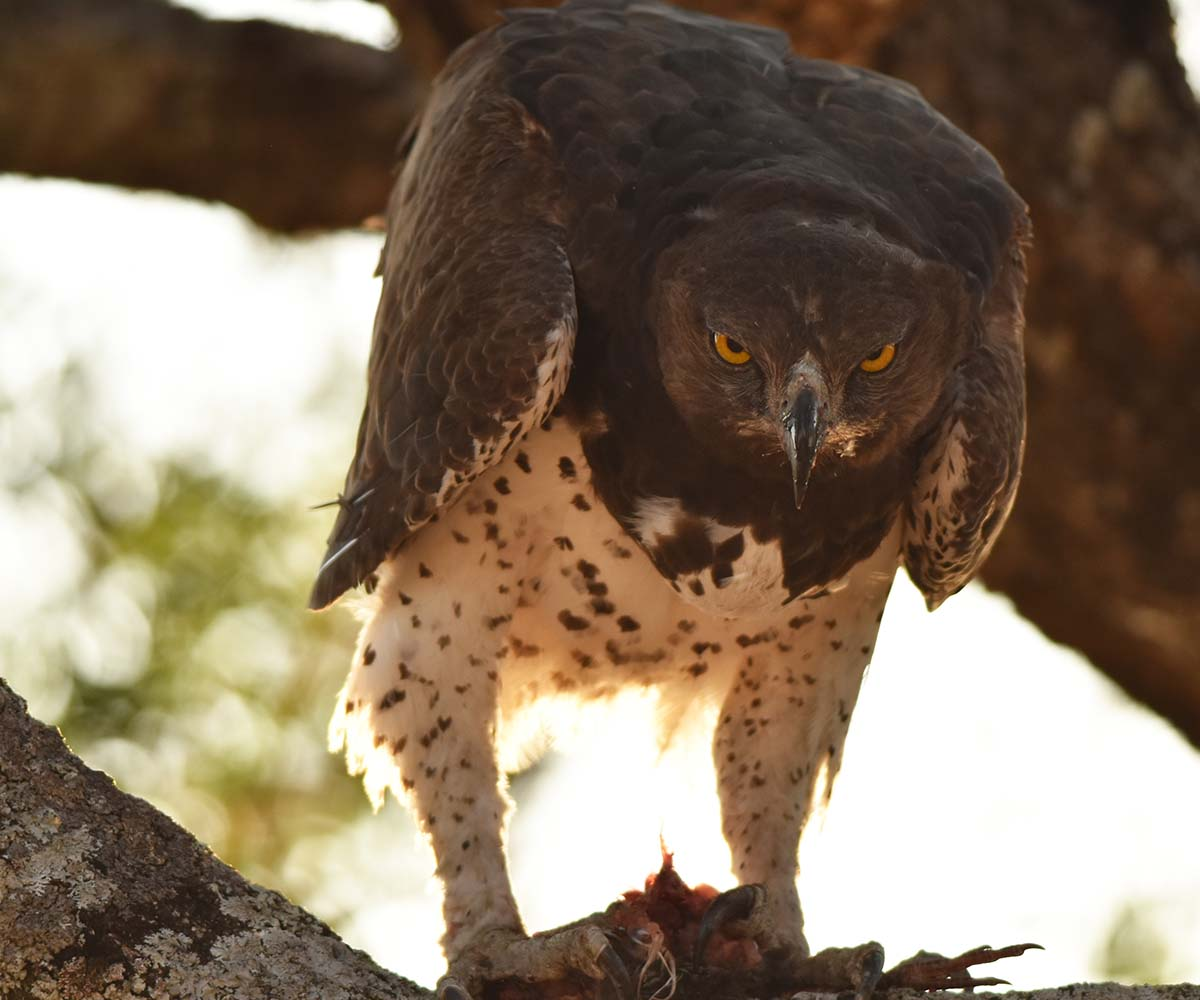 Martial Eagle with Kill