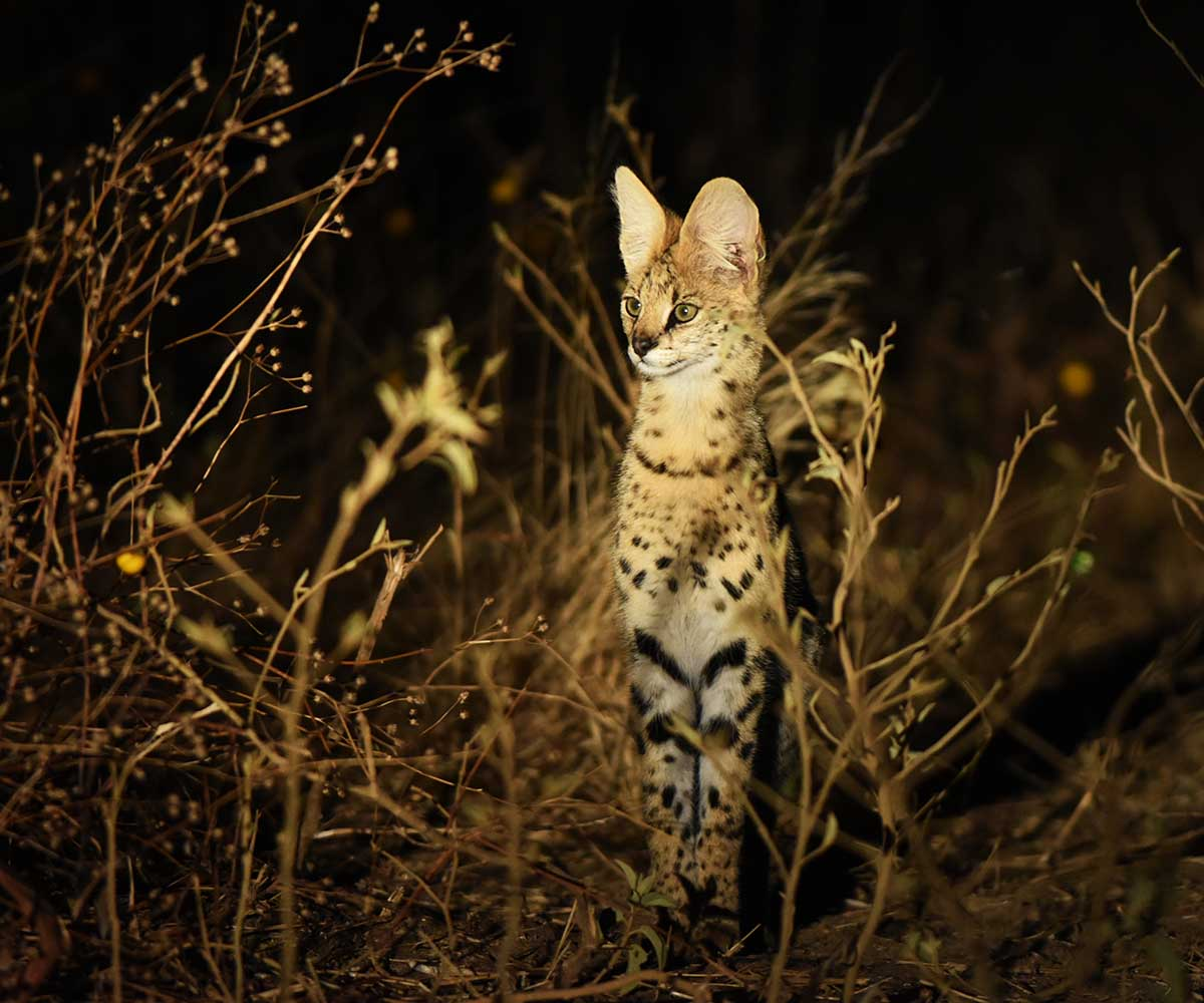 Serval on a nightdrive